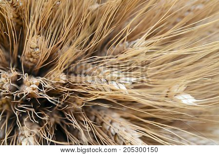 Rye ears close up.Ripe ears of rye (Secale cereale) in the field.Autumn harvest concept.Selective focus.