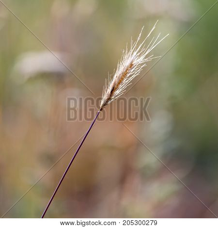 Spike grass in nature . . In a park in the nature