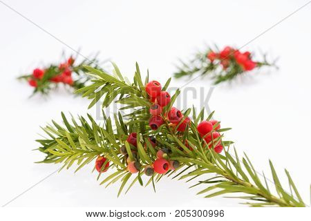 Closeup yew twig with fruits isolated, Taxus baccata