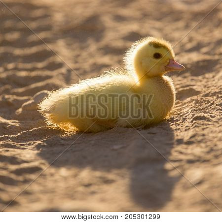 little duckling in nature . In a park in the nature