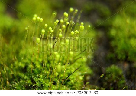 Beautiful green moss in the sunlight,Closeup of Moss grows on the tree.