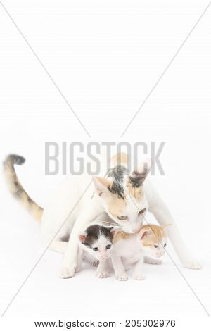 Protective mother cat with her two babies on the white background