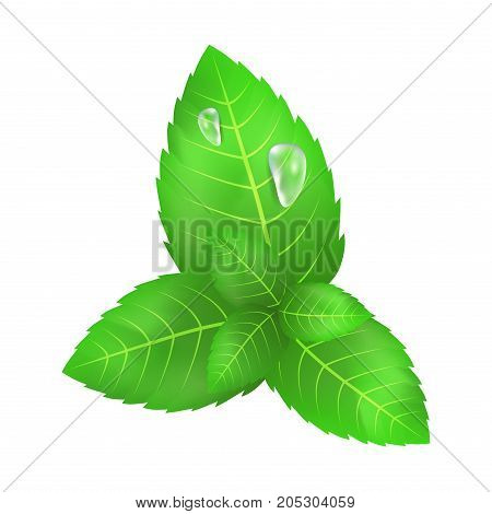 Green leaves of mint with two flowing down water drops close-up icon on white background vector illustration graphic design.
