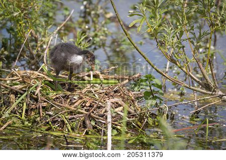 European Coot (Fulica atra) chick on nest