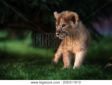 African Lion cub, Panthera leo South Africa, 4 weeks old