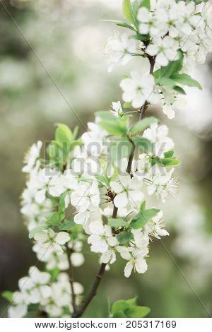 Spring flowering branch of Cherry blossom on green garden background