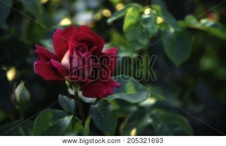 In the luscious green of the leafy foliage of the young bush a delicate half-opened red rose flower.