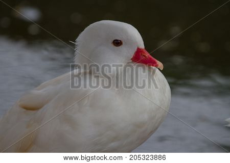 Lesser Whistling Duck  But It's White Color