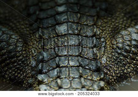 Close-up Crocodile Leather Background