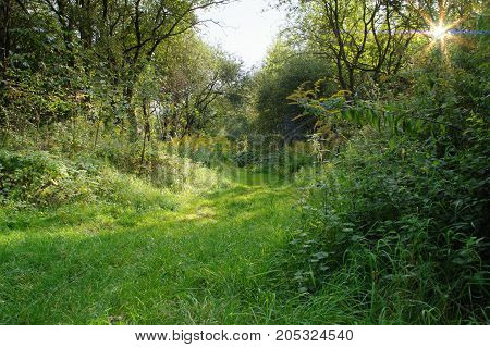 Green grass on forest pathway in sunny summer morning. Trees in background.