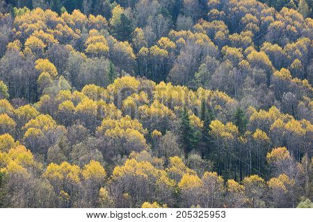 Yellowed tree crowns in a mixed forest at the beginning of the autumn period in Siberia