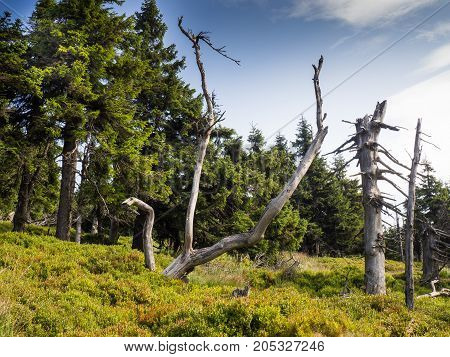 Old trees along the way in Jeseniky mountains, Czech Republic