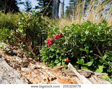 Cranberry plant growing in Jeseniky mountains Czech republic