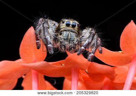 Super macro male Hyllus diardi or Jumping spider on orange Spike flower