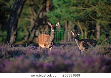 Red Deer Hind (cervus Elaphus) With Youngster Lit By Low Sunlight In Blooming Heather.
