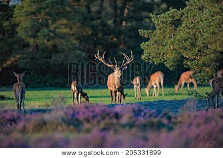 Red Deer Stag (cervus Elaphus) With Hinds In Low Sunlight.