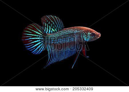 Capture the moving moment of green blue red siamese fighting fish on black background. Dumbo betta fish