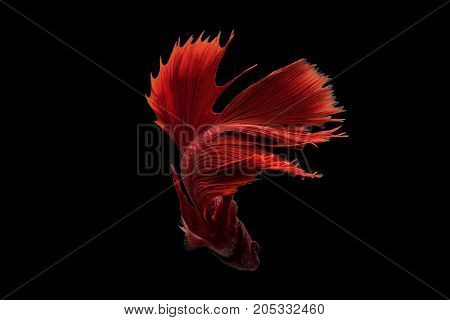 red siamese fighting fish on black background