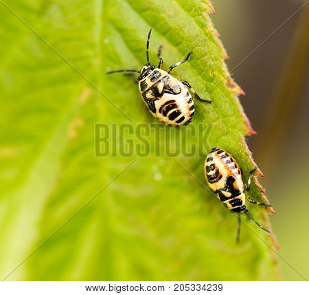 two beetles on a green leaf in nature .