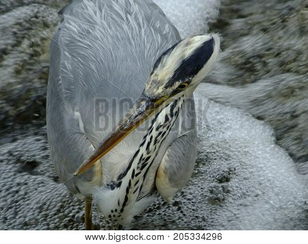 Grey heron close up, showing its beautiful coloration