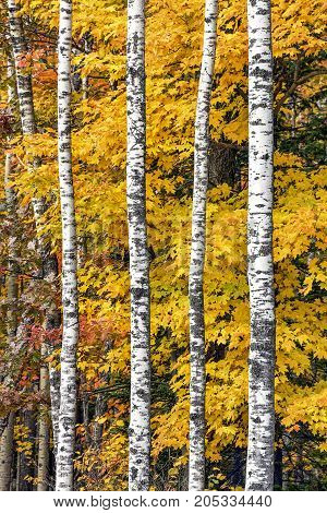 Autumn maple leaves display vivid colors behind brilliant white birch tree trunks in the woods of northern Wisconsin.