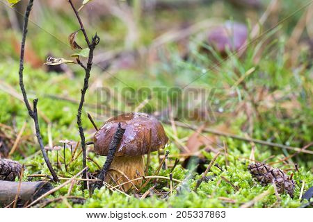 Close-up photo of a mushroom with drops of dew on moss and between a needle in a forest in an autumn day with a blurred background