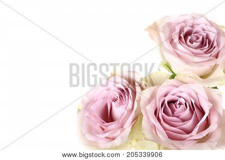Retro roses shabby chic isolated on white background