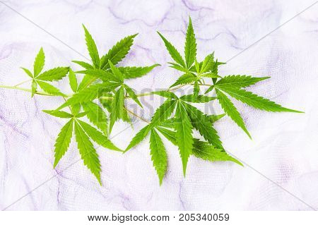 Marijuana Branch With Small Green Leafs