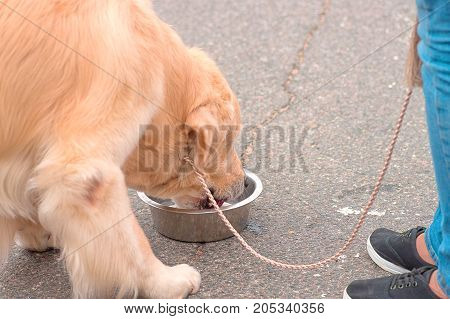 A large dog drinks water from a bowl close-up. Concept: friend, dobrata, power, love, loyalty, protection, care. Space under the text. 2018 year of the dog in the eastern calendar