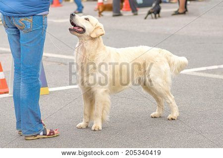 Golden retriever - a hunting breed of dogs. Space under the text. 2018 year of the dog in the eastern calendar. Concept: friend, dobrata, power, love, loyalty, protection, care