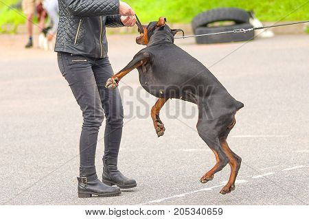 Dog Doberman Pincher holds a ball with his teeth, plays with the owner. Space under the text. 2018 year of the dog in the eastern calendar. Concept: friend, protection, loyalty, vigilance, security