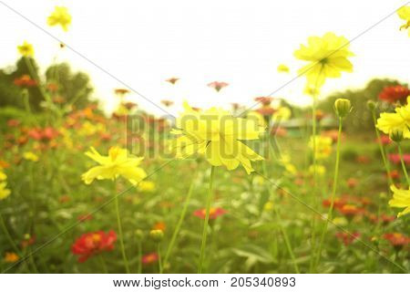 Yellow Sulfur Cosmos Flower with Sun Flare Light