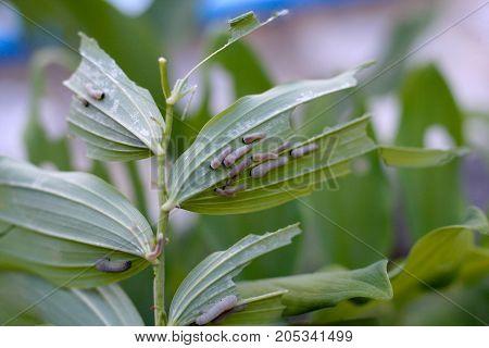 Larvae of the leaf wasp on salomon`s seal plant