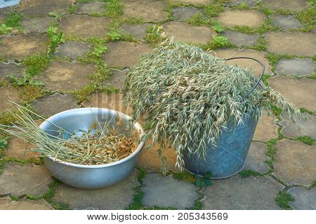 Crop of oats harvested by small farm in Russia