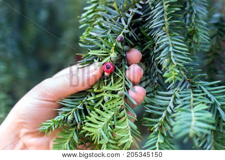 Hand holds a branch of an green yew with ripening berries