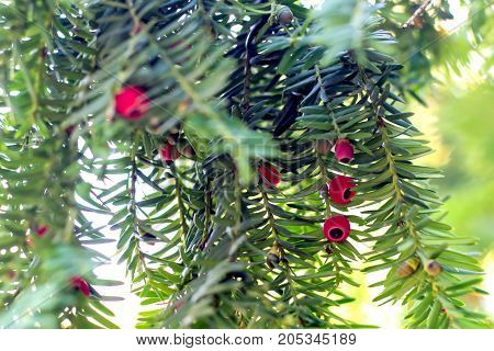 Ripening of berries on an ever green coniferous yew