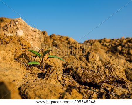 Buds Of Morning Glory Sprout Up Rocky Mound