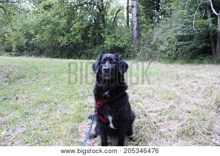 adult black retriever 8 years old isolated in the gras