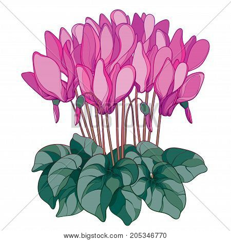 Vector bouquet with outline Cyclamen or Alpine violet flower in pink, bud and green foliage isolated on white background. Perennial Alpine mountain flower in contour style for spring design.