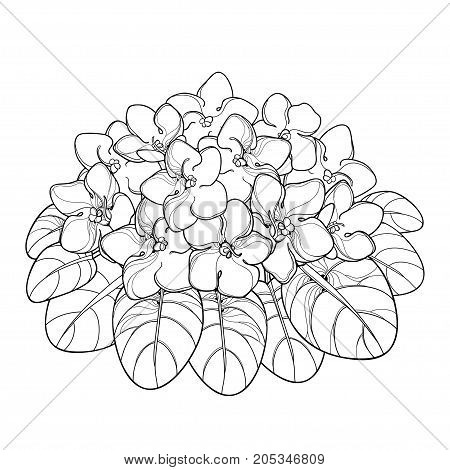 Vector bouquet with outline Saintpaulia or African violet flower and leaf in black isolated on white background. Viola flower in contour style for indoor floriculture, summer design and coloring book.