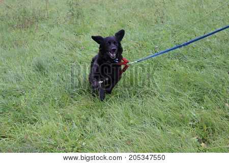 female labrador-retriever 8 years old running on grass