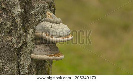 Large white double shelf mushroom growing on the side of a tree