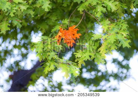 First Group Of Leaves Changed Color On Oak Tree, Vibrant Orange Branch Amongst Green