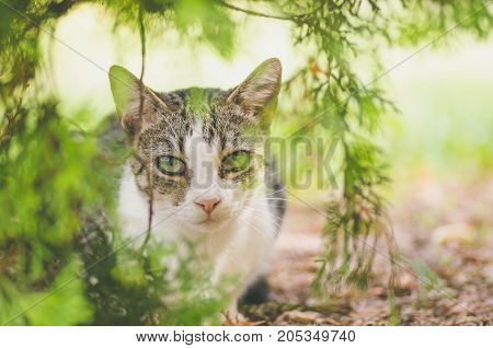 Beautiful young domestic cat is hiding in the shadow of the bush in the garden and look at the camera with worm sunlight. Cat life.