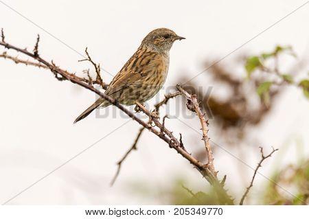Dunnock (Prunella modularis) bird perched on bramble bush. Bird in the family Prunellidae sitting on vegetation