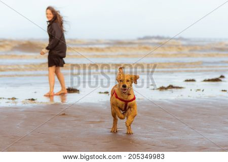 Golden labrador puppy running on beach. Four month old dog enjoying freedom by the seaside on the British coast