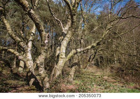 Old Dead Tree Trunks In A Wild Forest