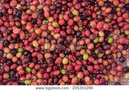 raw coffee cherries freshly picked and ready for washing for background