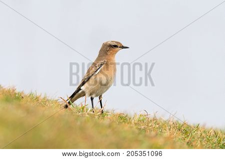 Wheatear (Oenanthe oenanthe) female standing on grass. Summer visitor to Britain in the family Turdidae on Somerset Coast before flying south for winter