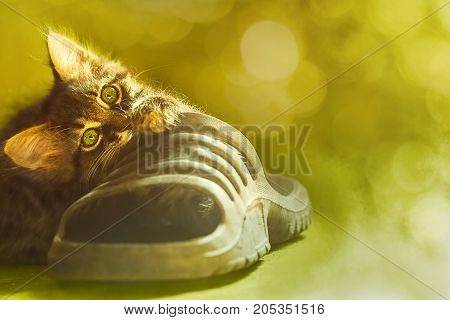 Young tabby kitten plays with a sneaker on a blurred background. Close up selective focus image with copyspace and bokeh.